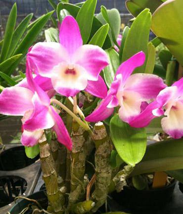 """Dendrobium Dream """"Ace"""""""