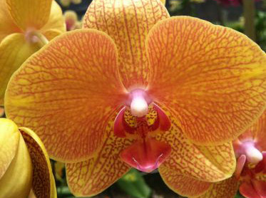 Yellow/Artshade Phalaenopsis